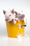 Piglets Sitting in a Bucket Covered in Soap Suds Papier Photo