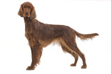 Irish Setter in Studio
