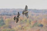Peregrine Falcon Chasing Off a Migration Immature
