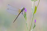 Common Darter Dragonfly Resting on Common Centaury