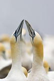 Northern Gannet Sky Pointing as Part of Courtship Display