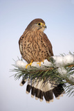 Common Kestrel Young Male on Snowy Fir Branch