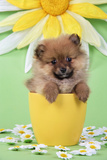 Pomeranian Puppy in Flower Pot (10 Weeks Old)