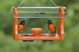 Baltimore Oriole Males Feeding at Jelly and Fruit Feeder