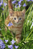 Kitten (Ginger) in Bluebells