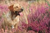 Yellow Labrador Dog