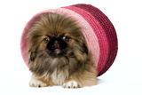 Pekingese Puppy in Studio in Pink Raffia Pot
