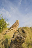 Common Kestrel Perched on Stump