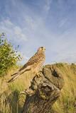 Common Kestrel Perched on Stump