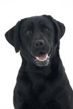Black Labrador in Studio