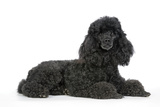 Black Poodle Lying Down