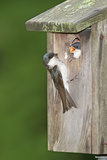 Tree Swallow Adult Feeding Young at Nest Box