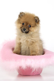 Pomeranian Puppy (10 Weeks Old) Sitting in Pink Hat