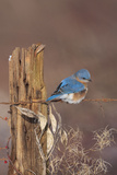 Eastern Bluebird Male in Winter