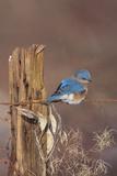 Eastern Bluebird Male in Winter