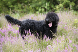 Black Labradoodle Standing in Field