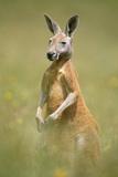 Kangourou rouge Papier Photo
