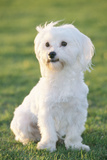 Bichon Maltiase Sitting Upright