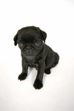 Black Pug Puppy (6 Weeks Old)