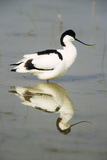 Pied Avocet Resting in Water at Lake Edge