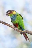 Blue-Chested Parakeet