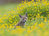 Red Fox Cub in Buttercup Meadow