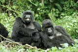 Mountain Gorillas X Two Females 'Murraha' and 'Poppy'