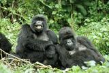 Mountain Gorillas X Two Females 'Murraha' and 'Poppy'
