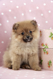 Pomeranian Puppy (10 Weeks Old) with Pink Suitcase