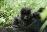 Mountain Gorilla Baby  Facing Camera