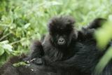 Mountain Gorilla Baby  Facing Camera