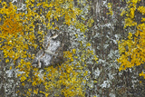Common Marbled Carpet Camouflaged Against Lichen