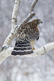 Red-Shouldered Hawk Adult Bird in Snowstorm