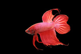Siamese Fighting Fish Red Form Male  Full Display
