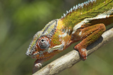 Male Panther Chameleon  Close Up of Head