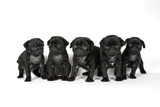 Five Black Pug Puppies (6 Weeks Old)