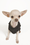 Short-Haired Chihuahua in Studio Wearing T-Shirt