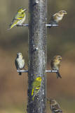 Siskins and Redpolls (Carduelis Flammea) at Niger