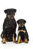 Rottweiler Sitting Next to Rottweiler Puppy