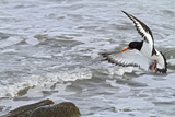 Oystercatcher Landing on Rock