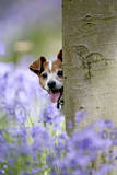 Jack Russell Looking around Tree in Bluebell Wood