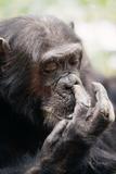 Chimpanzee Picking Nose  'Gigi' Female 39 Yrs