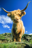 Cattle  Highland Cow
