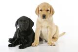Labrador Puppies (8 Weeks Old)