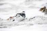 Rock Ptarmigan Male in Snow