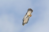 Peregrine Falcon Adult in Flight