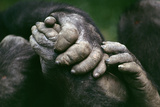 Lowland Gorilla Showing Hands