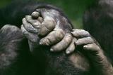 Lowland Gorilla Showing Hands