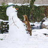 Red Fox Climbing Up Snowman