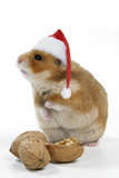 Syrian Hamster with Walnuts and Christmas Hats
